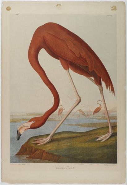 Obra American Flamingo
