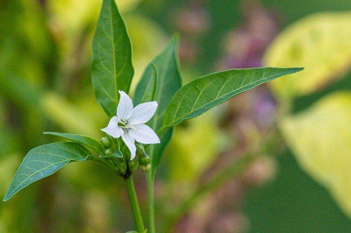 Retrato de uma flor de pimenta.