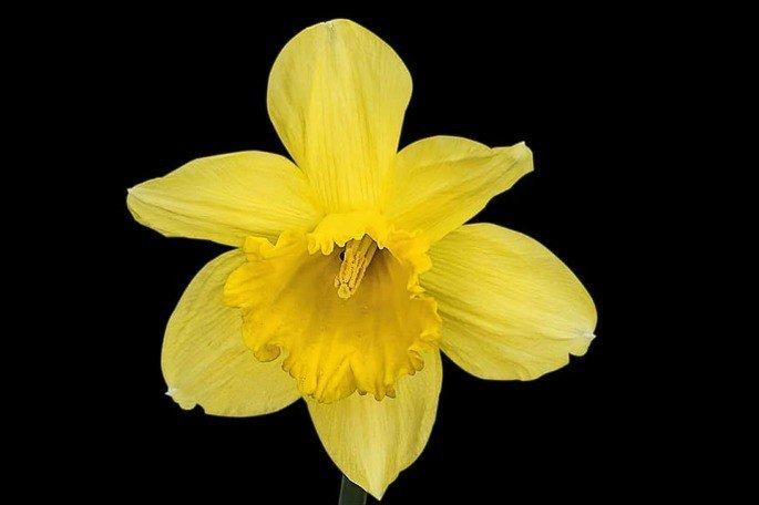 A flor de Narciso ( Narcissus).