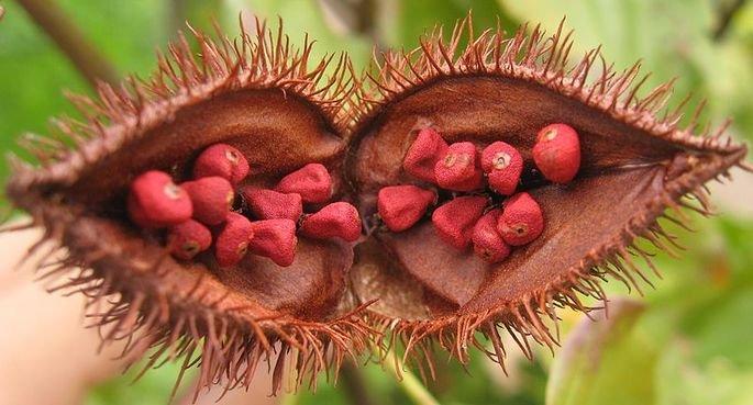 Urucum, fruto vermelho usado para criar tinta.